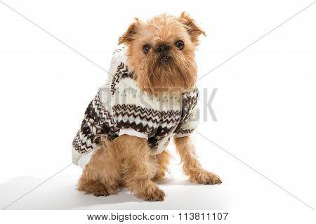 Dog Breed Brussels Griffon In A Warm Jacket