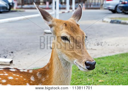 Close Up Of Female Spotted Deer