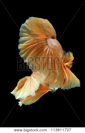 Movement The Tail Of ..gold Siamese Fighting Fish Isolated On Black Background. Betta Fish