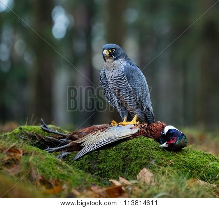 Bird of prey Peregrine Falcon (Falco peregrinus) with kill Common Pheasant on stone