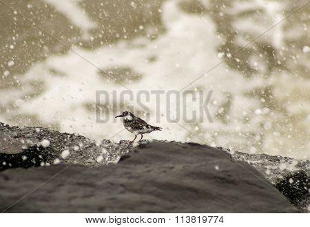 Purple Sandpiper
