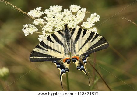 Macro of Scarce Swallowtail butterfly