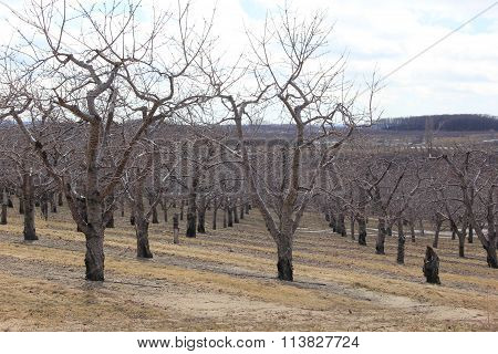 Cherry trees in winter