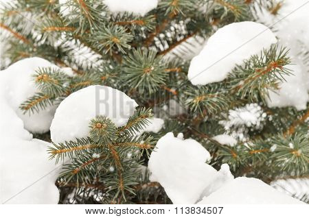 Closeup Tree Branches Under Snow. Snow Fir Tree Branches Under Snowfall. Winter Detail