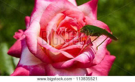 Katydid Tettigonia cantans on a pink rose.