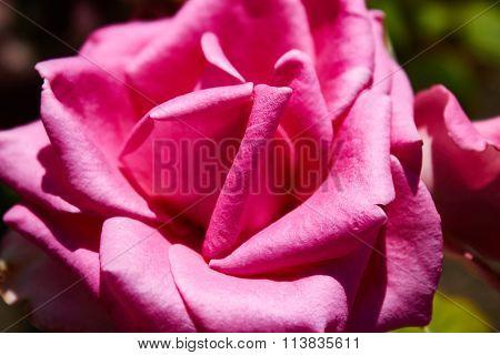 velvet pink Valentine rose