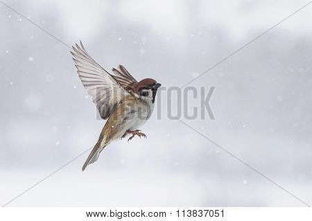 the Sparrow flies in winter