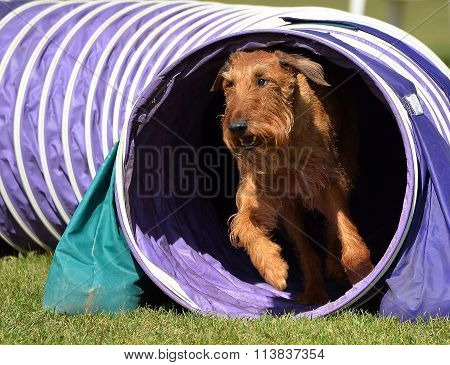 Irish Terrier At A Dog Agility Trial