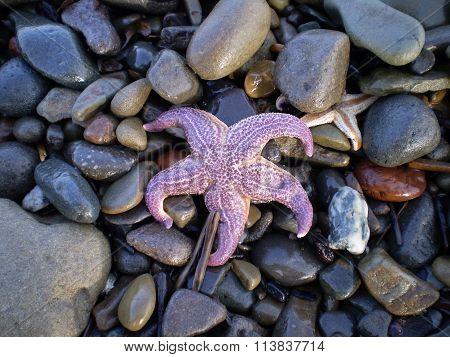 Starfish Ashore.  Erinaceouses Mollusks.