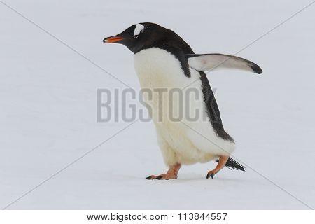 Adult Gentoo Penguin Waddling, Neko Harbor, Antarctica