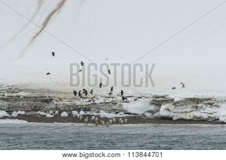 Gentoo Penguins , Neko Harbor, Antarctica
