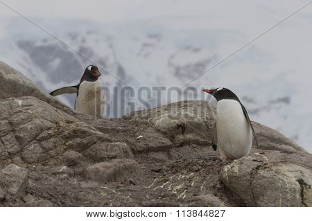 Gentoo Penguin Mating Behavior