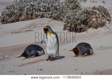 King Penguins on a Beach