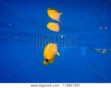 Reflective tropical yellow fish