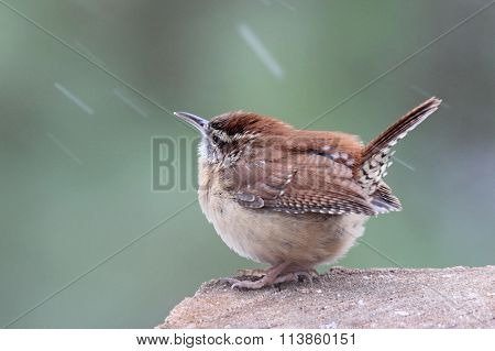 Wren in Winter
