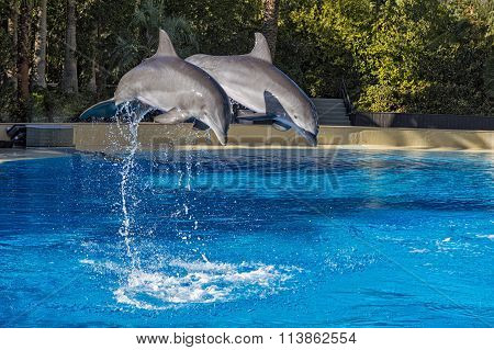 Two Dolphins Jumping In Formation