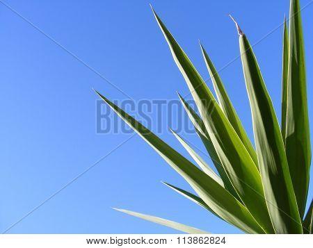 yucca leaves