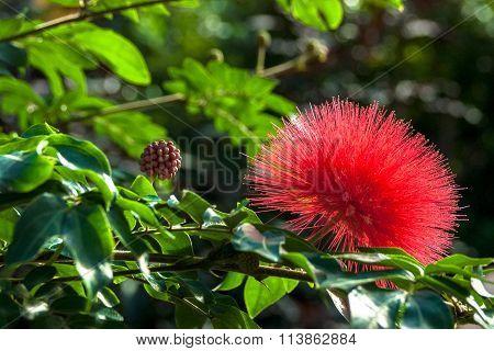 Red Leucospermum Pincushion Flower and Bud
