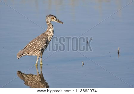 Young yellow-crowned night heron hunting for food in shallows