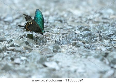 Butterfly Sucking Mineral Water On The Rocks