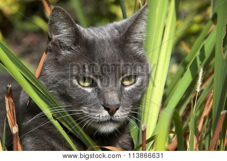 Domesticated grey cat pretending to be a wild jungle cat hunting through the brush.
