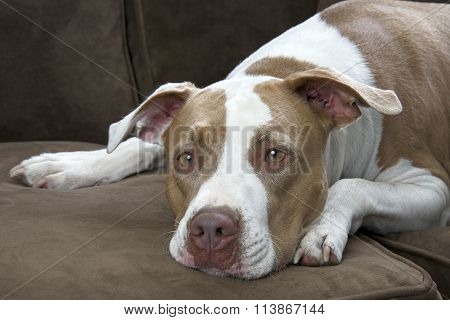 White and tan boxer puppy lying on a brown sofa