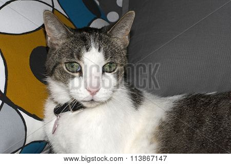 White and grey cat looking disapprovingly at the camera