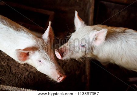 Two young pigs in a barn on the home farm, mud snout. View from above.