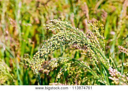 Millet ears of unripe