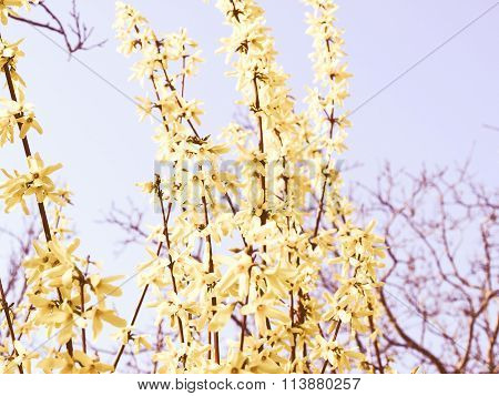 Retro Looking Forsythia Picture