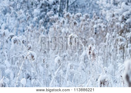 Reed Thicket In Snow