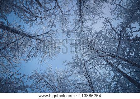 Snowy Treetops Against Blue Sky