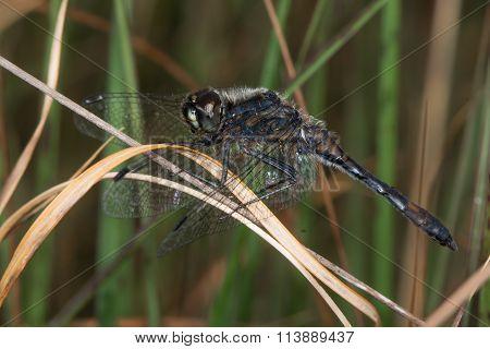 Black darter dragonfly (Sympetrum danae)