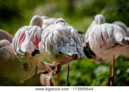 Resting pink flamingos