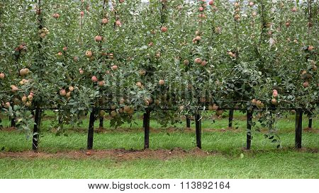 Apple Trees Full Of Apples