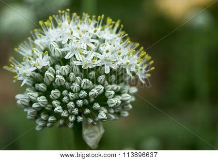 Blossom Green Pommel