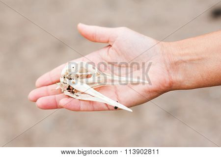 Hand Holding a Bird Cranium