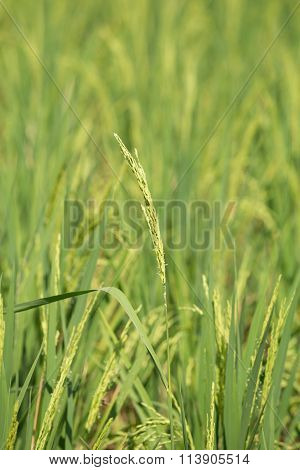 Rice Spike In The Paddy Field