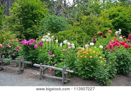 Colorful Dahlia Garden