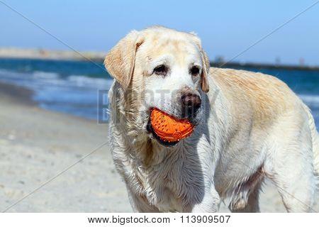 A Cute Yellow Labrador With Orange Ball