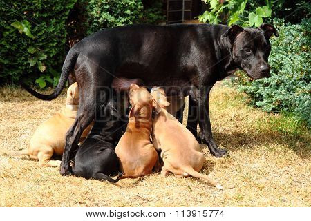 American Pit Bull Terrier As Dog Mother