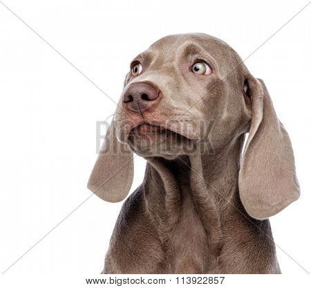Weimaraner dog isolated on white