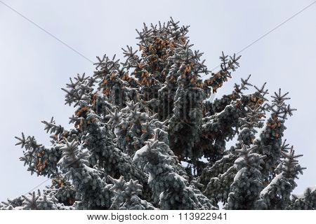 Blue Spruce Tree At Winter