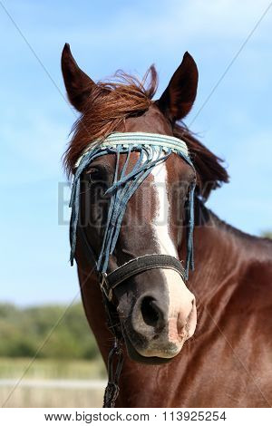 Head Shot Of A Thoroughbred Horse On Summer Pasture