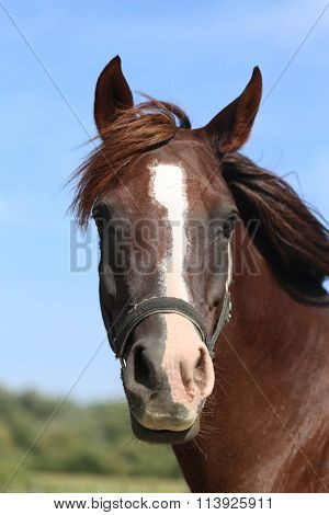 Head Shot Of A Thoroughbred Horse Summer Pasture