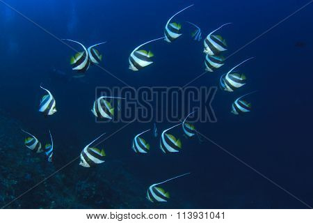 Shoal tropical fish: Schooling Bannerfish