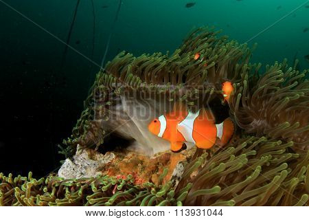 Clownfish anemonefish nemo fish anemone underwater coral reef