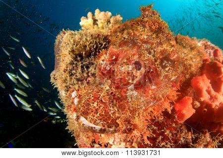 Scorpionfish fish face