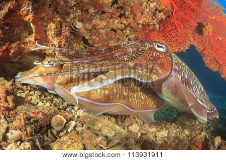Pair of Pharaoh Cuttlefish mating