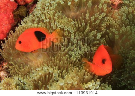 Clownfish Nemo fish (tomato Anemonefish)